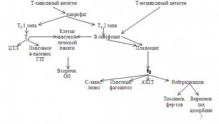 Рис. 39.3-1.  Общая схема гуморального и клеточного иммунного ответа на Т-зависимые и Т-независимые антигены.